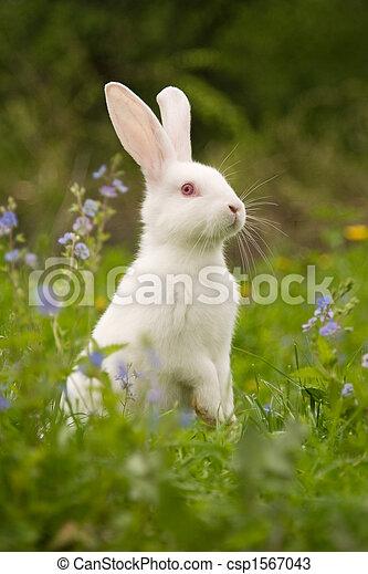 Conejo blanco - csp1567043
