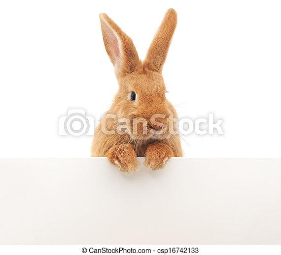 Conejo en blanco - csp16742133