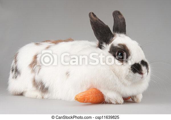 Conejo - csp11639825