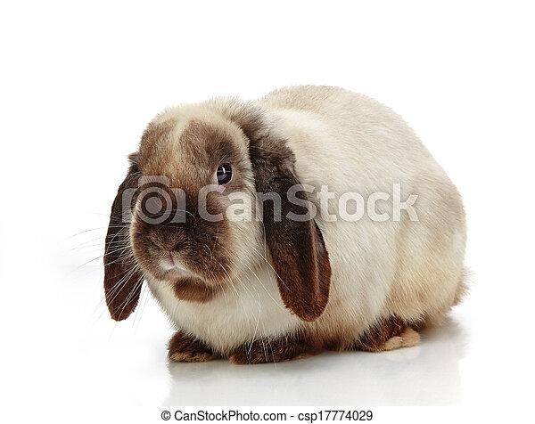Conejo - csp17774029
