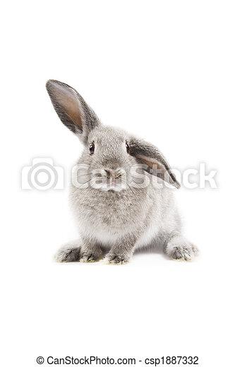 Conejo - csp1887332