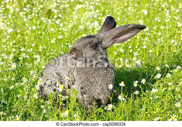 Conejo - csp5099334
