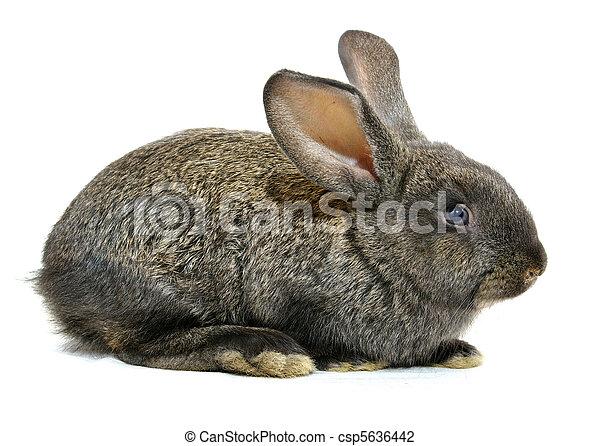 Conejo - csp5636442