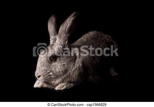 Conejo - csp1566829