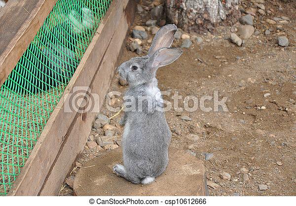 Conejo - csp10612666