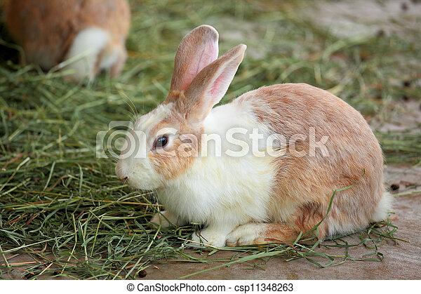 Conejo - csp11348263