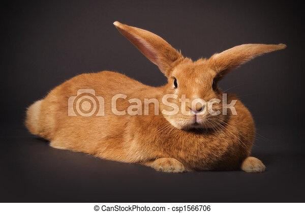 Conejo - csp1566706