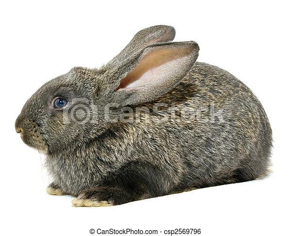 Conejo - csp2569796