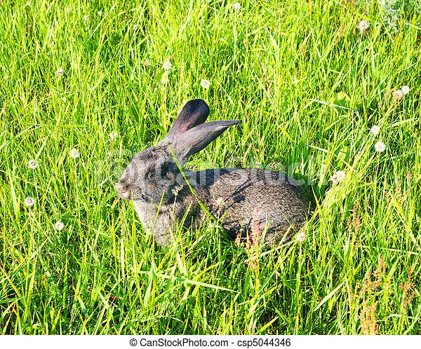 Conejo - csp5044346