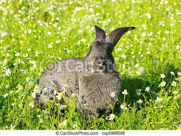 Conejo - csp5998586