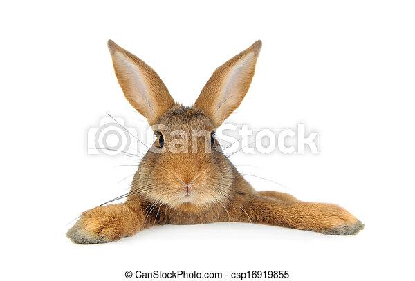 Conejo marrón - csp16919855