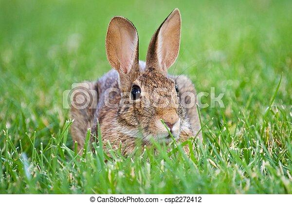 Conejo marrón - csp2272412