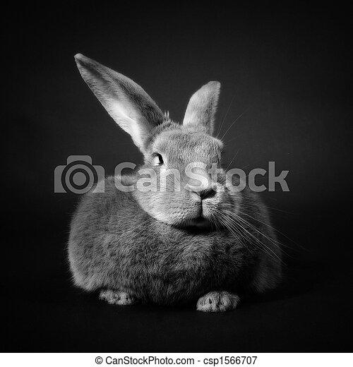 Conejo - csp1566707