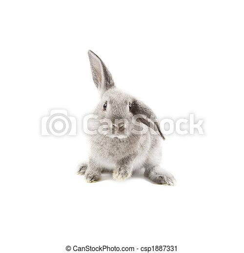 Conejo - csp1887331