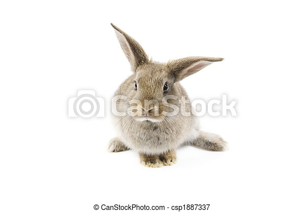 Conejo - csp1887337