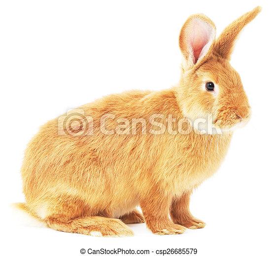 Conejo - csp26685579