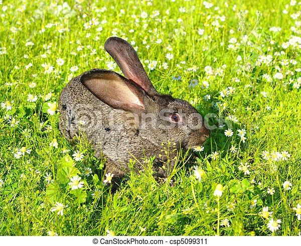 Conejo - csp5099311