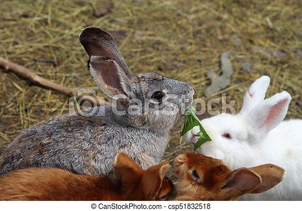 Conejo - csp51832518