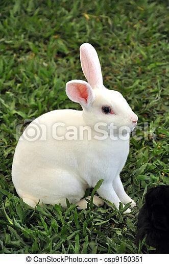 Conejo - csp9150351