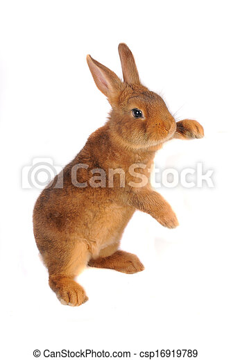 Conejo - csp16919789