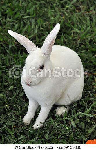 Conejo - csp9150338