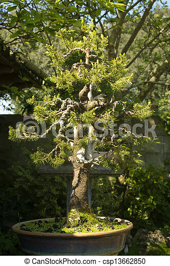 Stupendous Conifer Bonsai Tree With Branches Wiring Process In The Garden Wiring 101 Ferenstreekradiomeanderfmnl