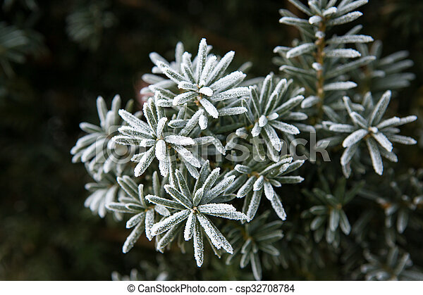 Coniferous branches covered with hoarfrost. Close up. - csp32708784