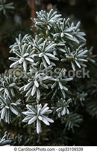 Coniferous branches covered with hoarfrost. Close up. - csp33109339