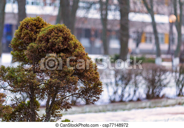 Coniferous bush on a blurred background of the park and building - csp77148972
