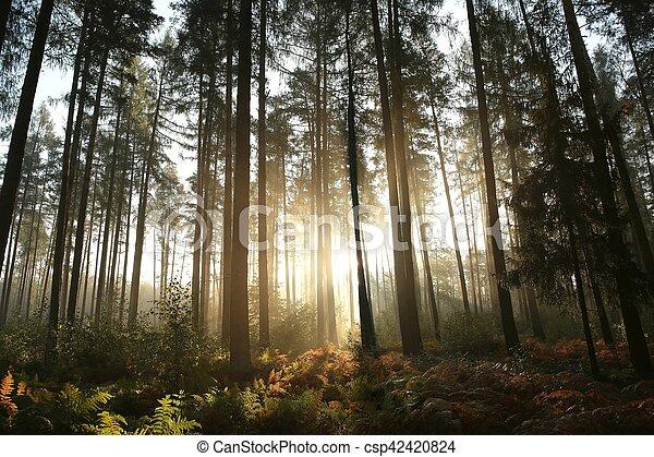 Coniferous forest at sunrise - csp42420824