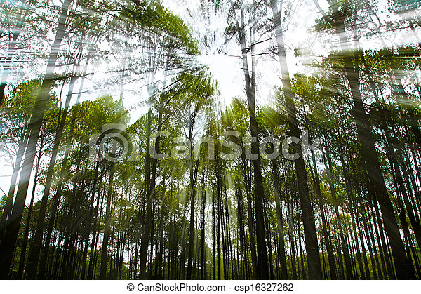 Coniferous forest on sunrise with sunbeams - csp16327262