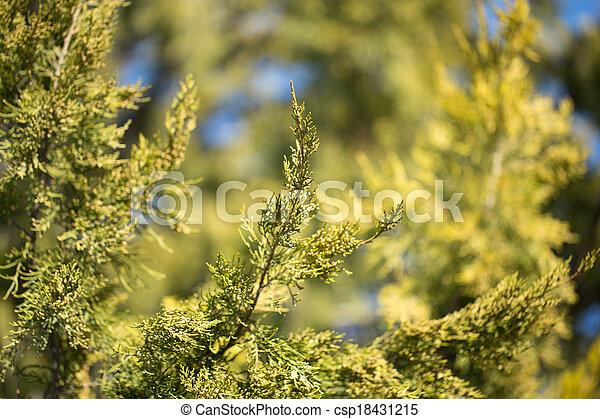 coniferous tree branch in nature - csp18431215