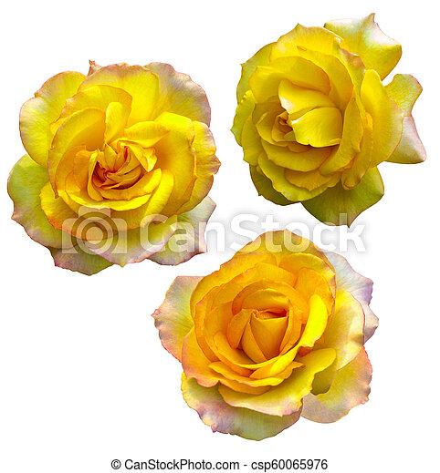 Un conjunto de rosas amarillas aisladas en el fondo blanco - csp60065976