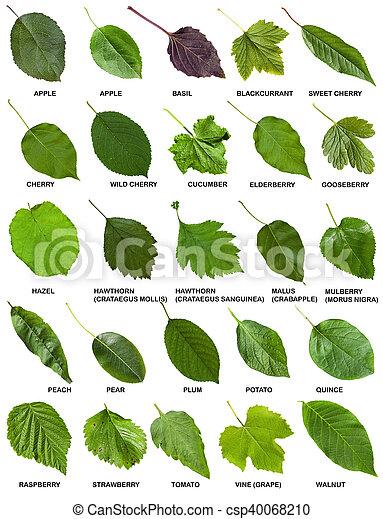 Conjunto Hojas Arboles Verde Arbustos Nombres Conjunto Hojas - Hojas-de-arboles