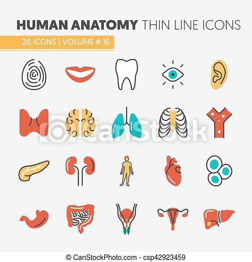 Conjunto, iconos, anatomía, vector, delgado, humano, línea, órganos ...