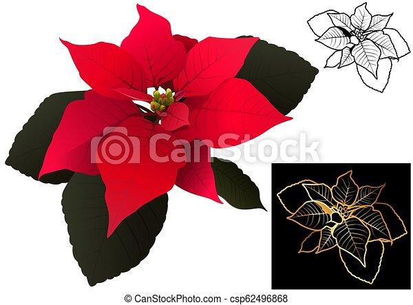 Poinsettia de Navidad - csp62496868