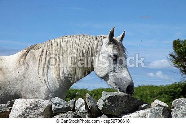 Connemara pony - csp52706618
