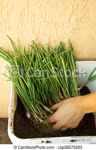 Container full of herbs being prepared for planting - csp36575263