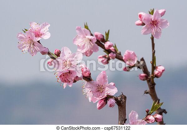 contre, arbre, fleurs, ciel bleu, fleur, pêche, chengdu - csp67531122