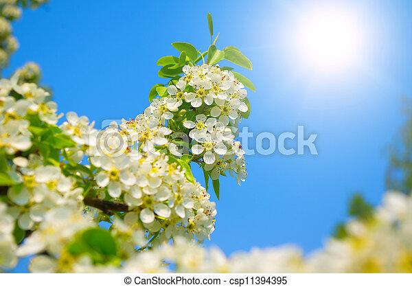 contre, poire, bleu fleurit, ciel, fleur, printemps - csp11394395
