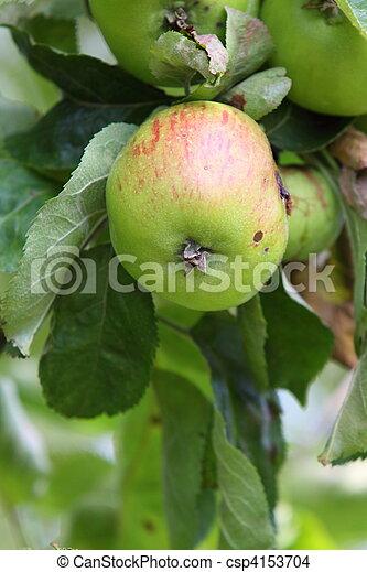 cooking apple - csp4153704