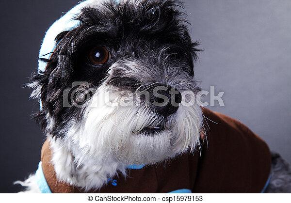 cool dog in studio - csp15979153