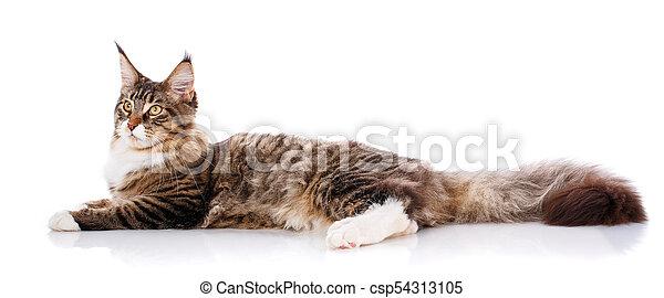 El gran Maine Coon está en un fondo blanco. Hora de descansar, gato tranquilo - csp54313105