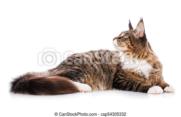El gran Maine Coon está en un fondo blanco. Hora de descansar, gato tranquilo - csp54305332