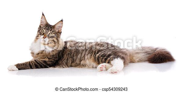 El gran Maine Coon está en un fondo blanco. Hora de descansar, gato tranquilo - csp54309243