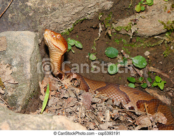 Copperhead Snake (Agkistrodon contortrix) - csp5393191