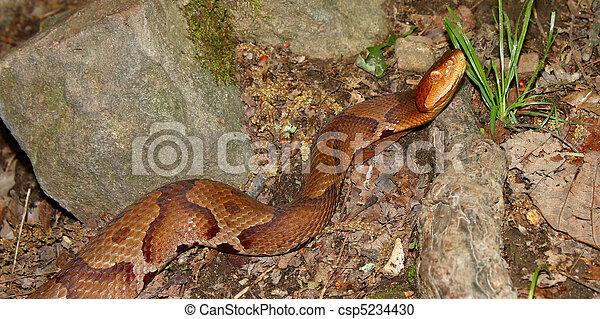 Copperhead Snake (Agkistrodon contortrix) - csp5234430