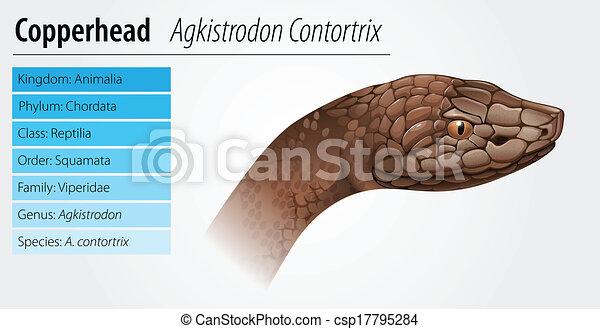 copperhead snake vector