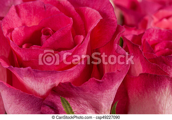cor-de-rosa, buquet, cima, rosas, fim - csp49227090