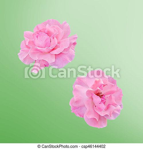 cor-de-rosa, cima, isolado, flores, rosas, fim - csp46144402